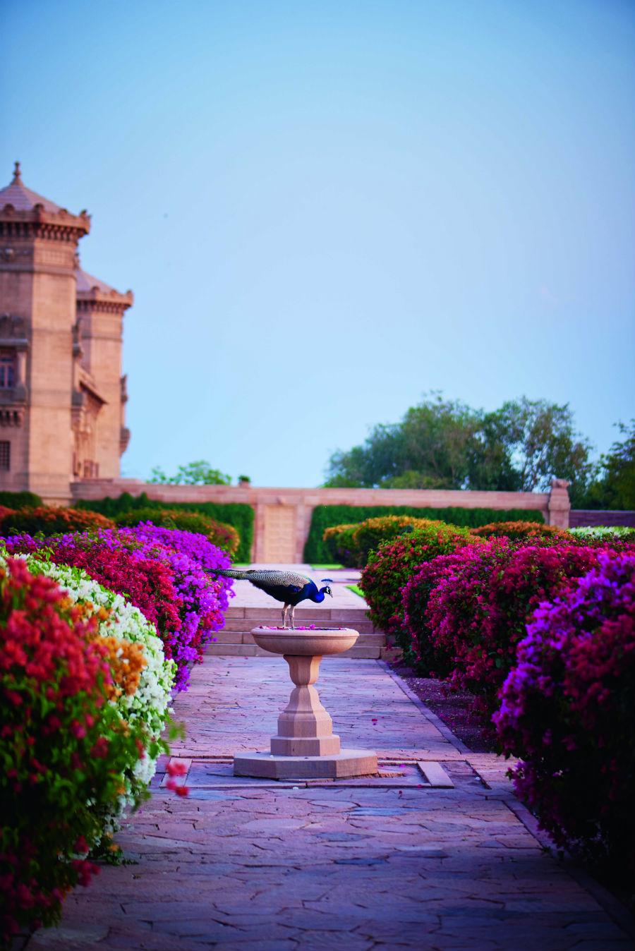 Uno splendido esemplare di pavone, dalle cui piume prende ispirazione Boucheron per la collezione Plume de Paon, all'interno dei giardini dell'Umaid Bhawan Palace