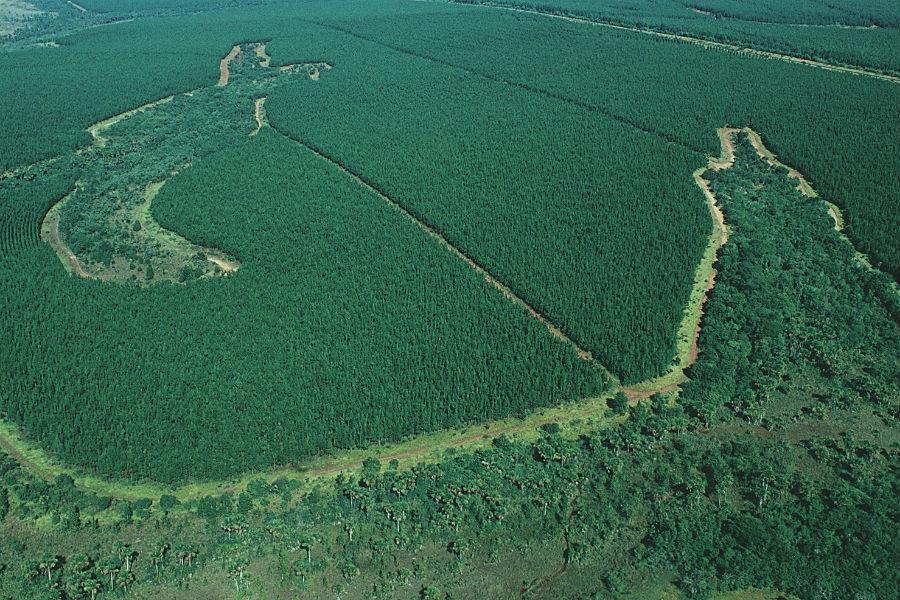 Le conifere a crescita rapida in Brasile che appartengono alle piantagioni di proprietà di Faber-Castell e che rientrano in uno dei progetti ambientali del marchio.