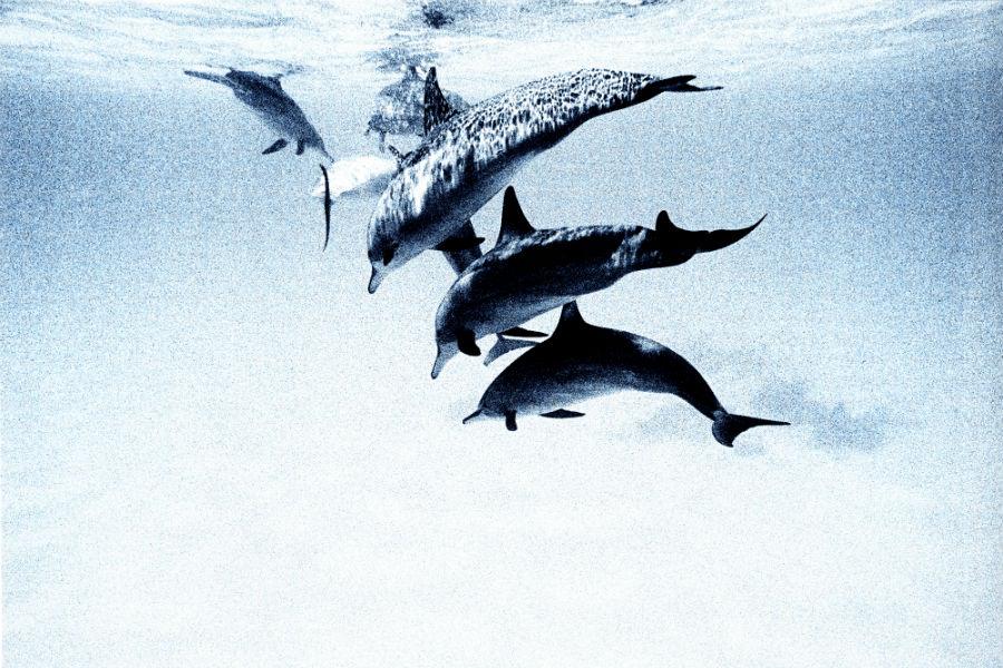 Cocoa Island, resort di lusso a Makunufushi - Maldive: nell'immagine i delfini