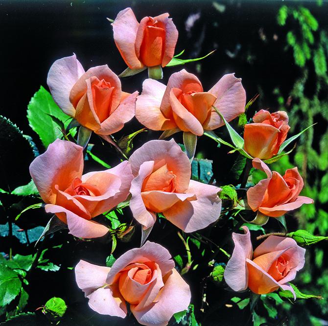 Rosa Rita Levi Montalcini