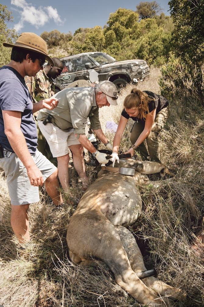 Le operazioni di sostituzione di un radiocollare difettoso di un leone maschio