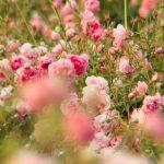 Nei campi fioriti di Chanel