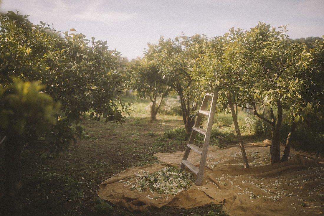 L'impegno di Chanel per la coltura responsabile dell'arancio amaro